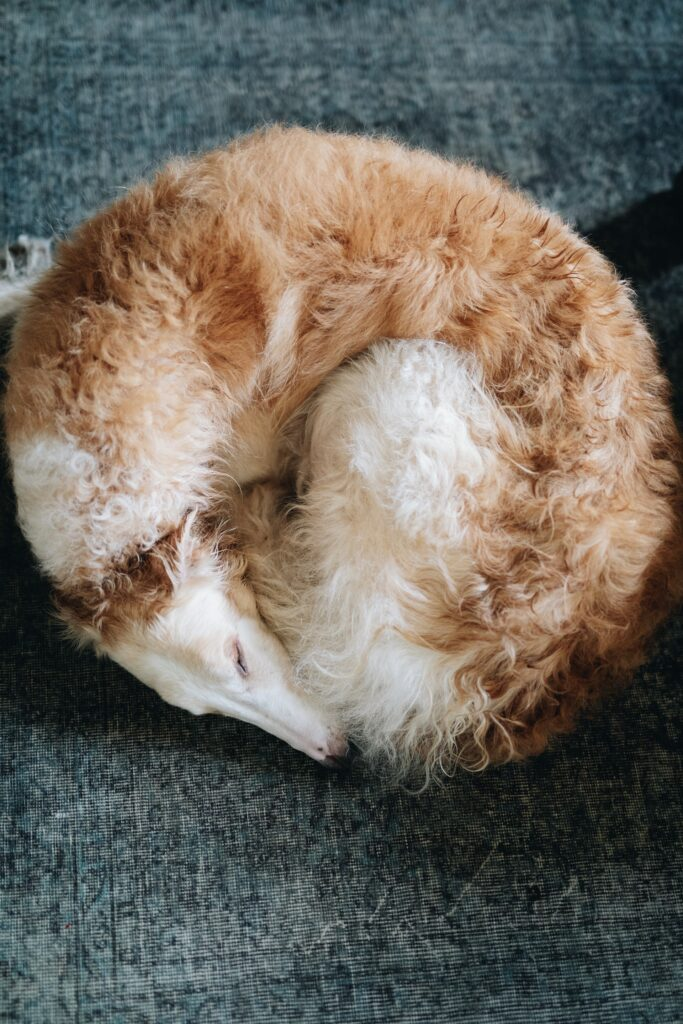 Borzoi curled up in a ball for a nap