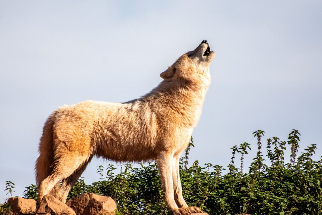 wolf howling on the rocks