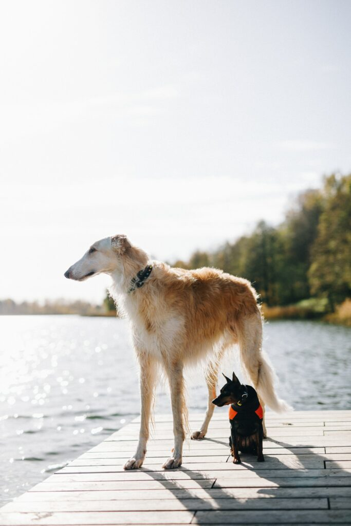 borzoi and a small dog standing on a dock