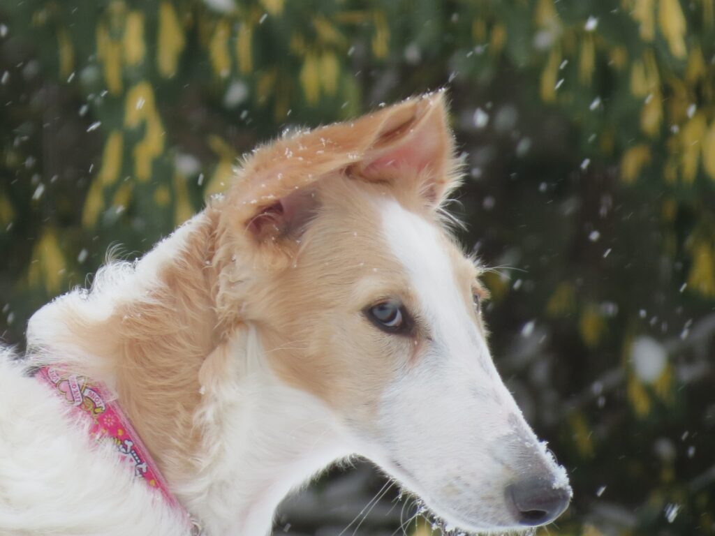 borzoi in snow