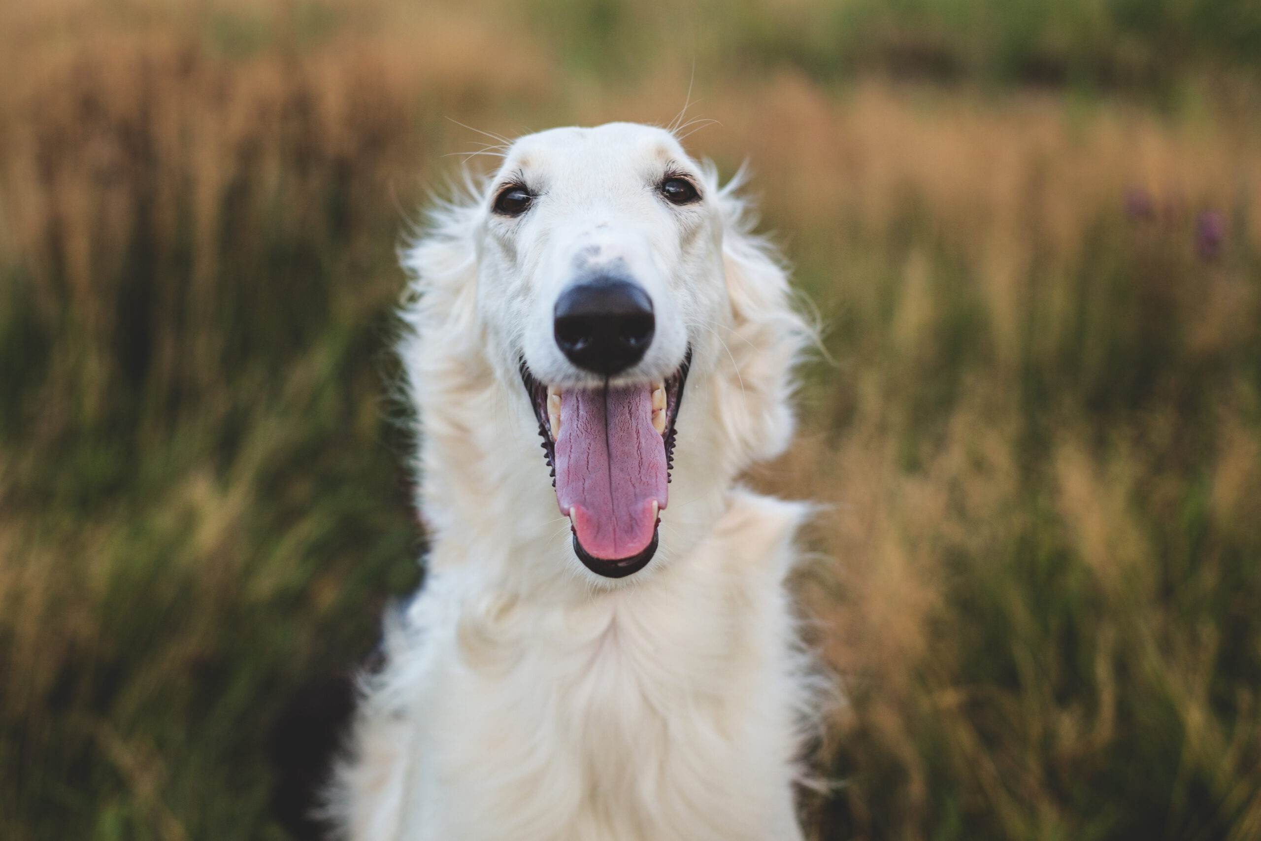 borzoi smiling in a field