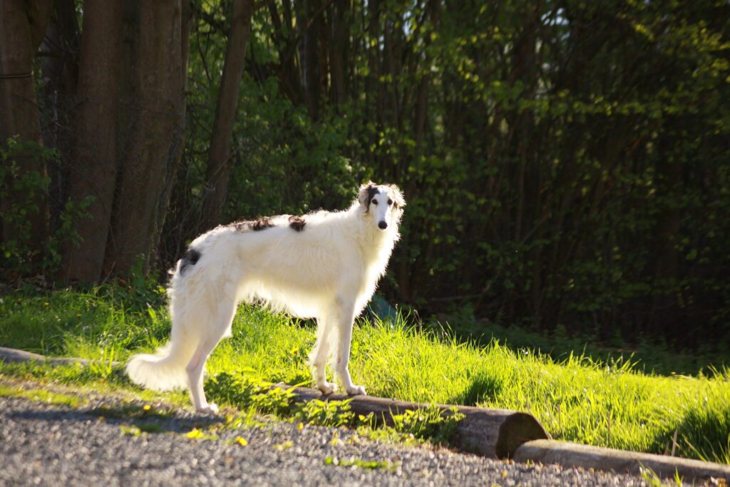 borzoi-standing-in-a-yard
