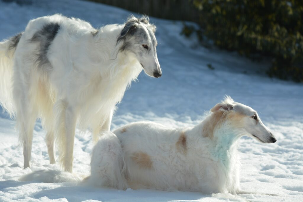 two borzois lying in the snow