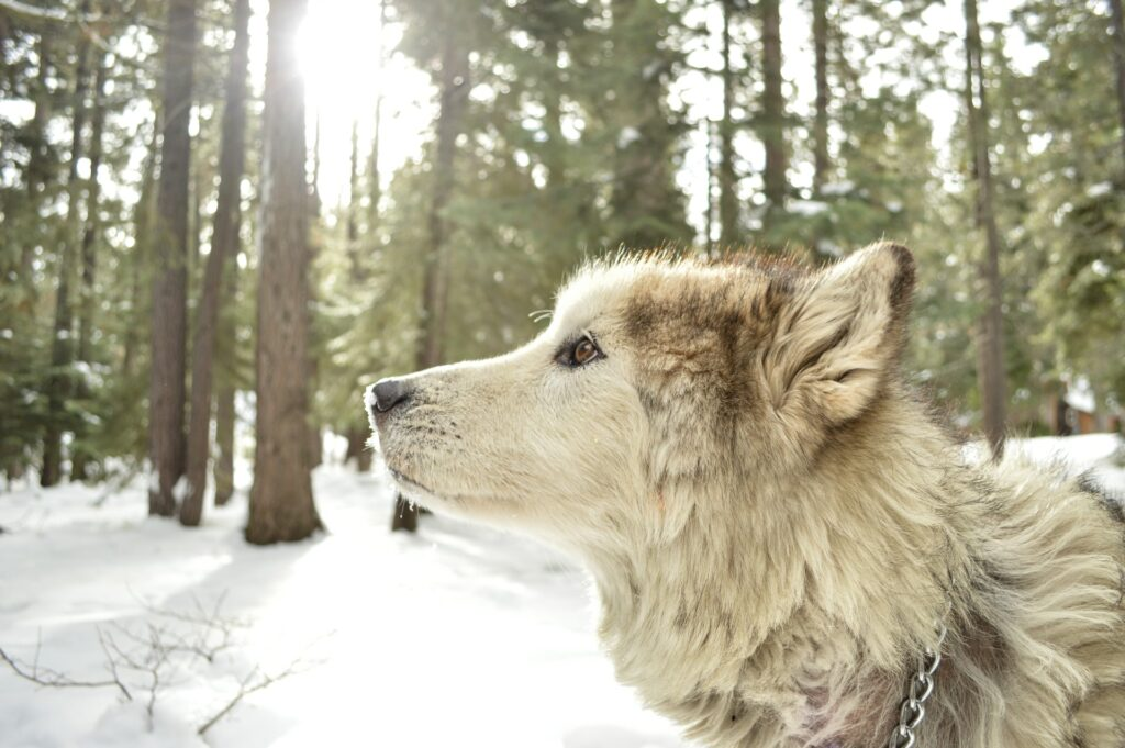 wolf standing in the woods