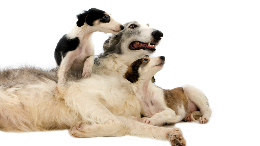 borzoi puppies with mom