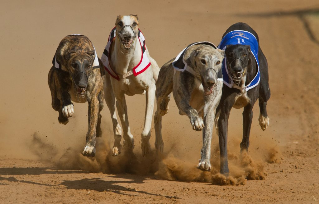 four greyhounds racing against each other