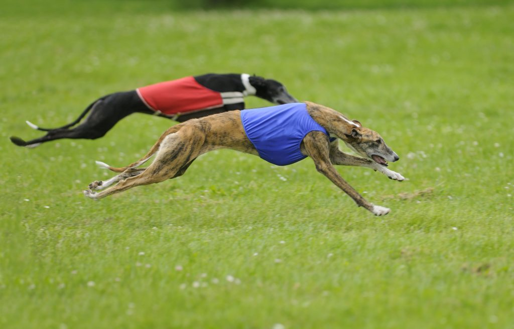 two dogs lure coursing in grass