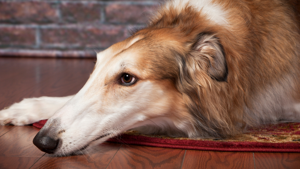 Borzoi Resting on Wooden Floor in Home