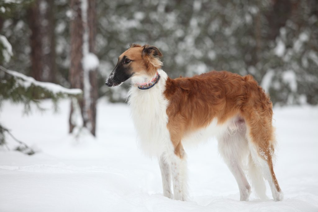 brown and white Borzoi standing in the snow