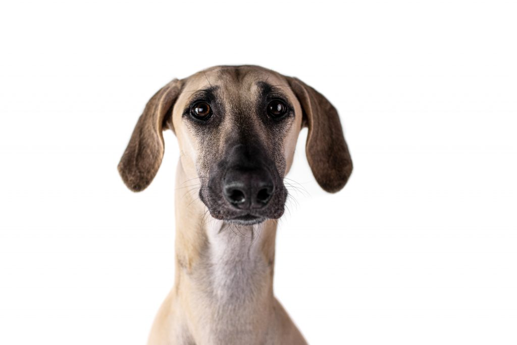 polish greyhound looking at the camera on a white background