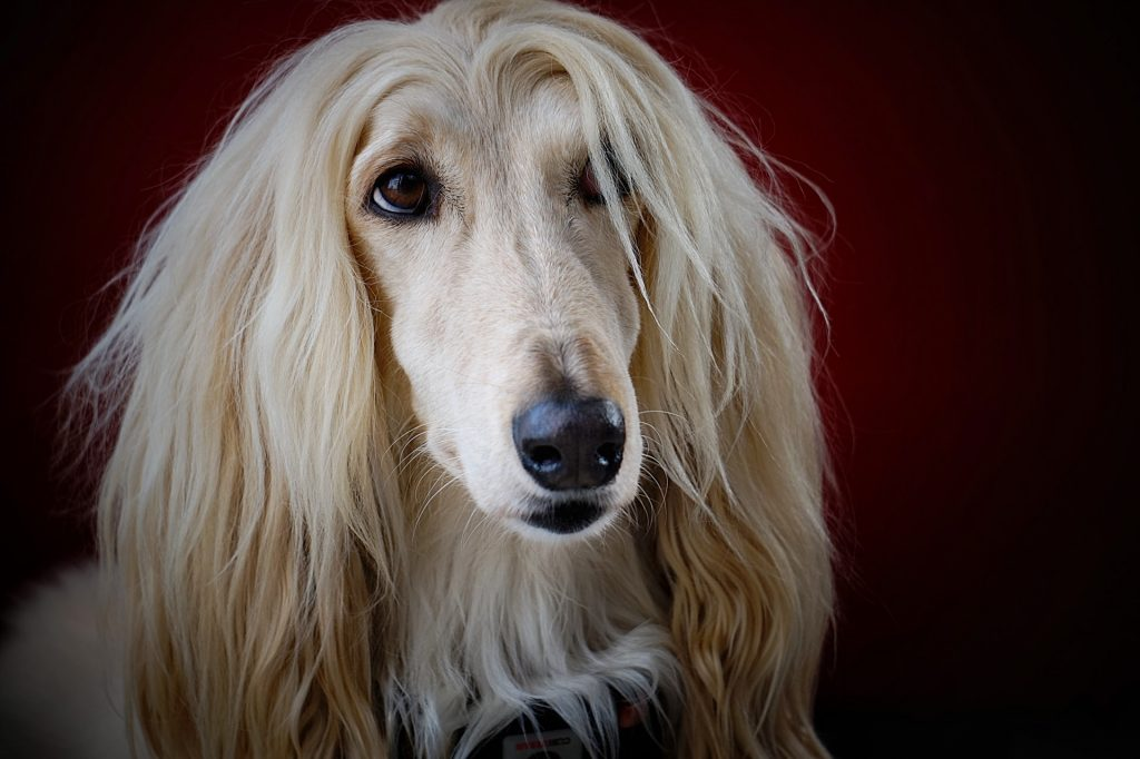 afghan hound looking at the camera