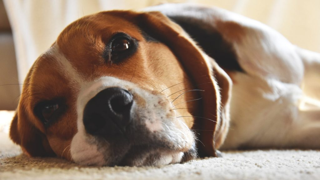 beagle laying on the floor