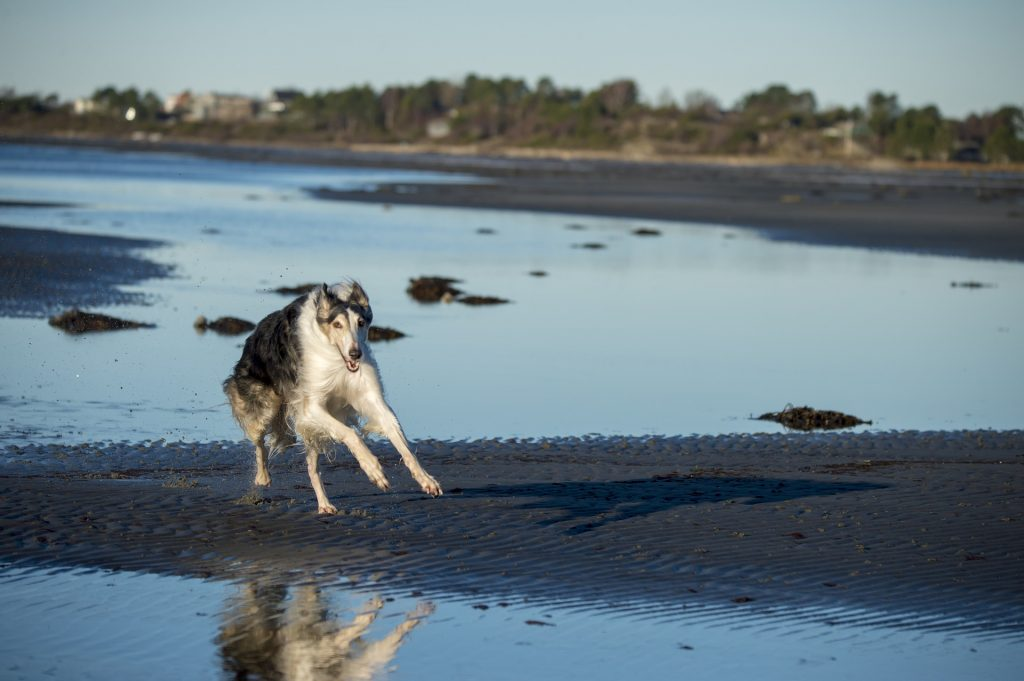borzoi running on sand and water
