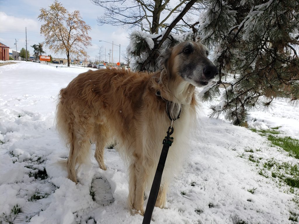 borzoi standing in the snow