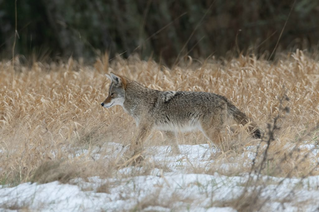 coyote prancing in a field