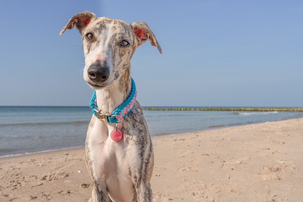sighthound standing on the beach