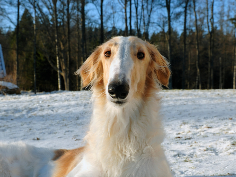 Borzoi Face Front View. Borzoi Face is Long and Narrow with Wide Set Eyes
