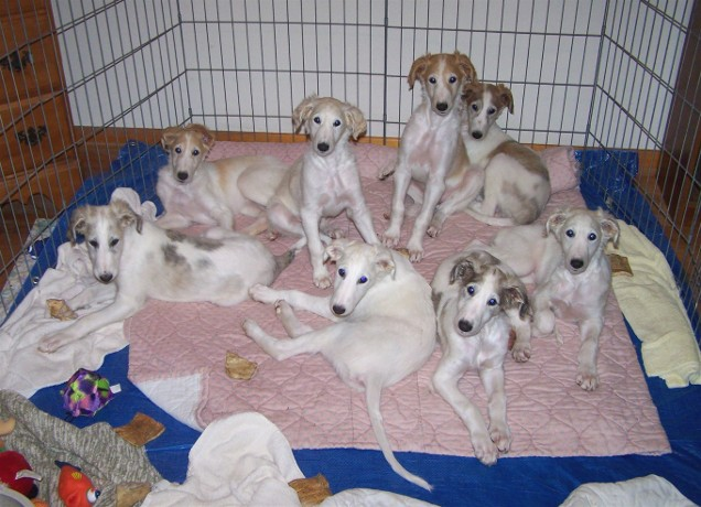 """Borzoi Puppies Source """"Puppy Bed Time"""" https://www.flickr.com/photos/ferlinka/1317785292/ by Deb"""