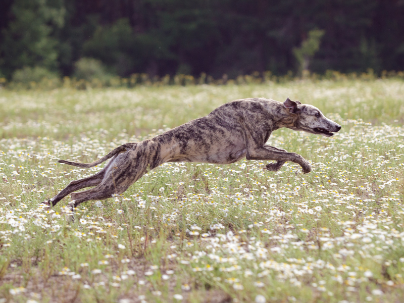 Mottled Colored Borzoi Running at Full Speed through field of daisies