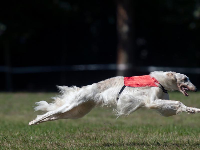 White Borzoi Running Full Speed in Grass