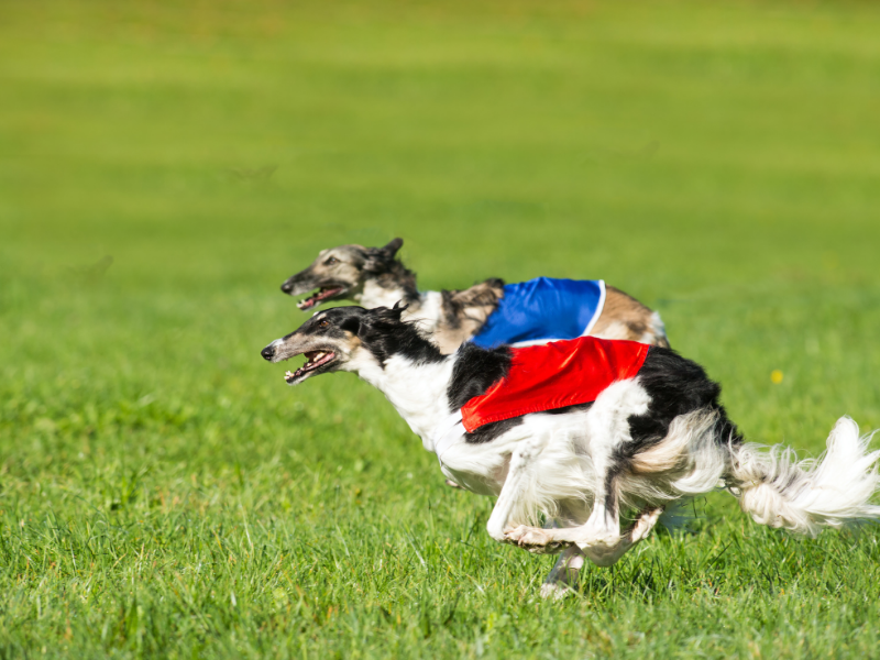 Two Borzoi Running at Full Speed in Lure Coursing