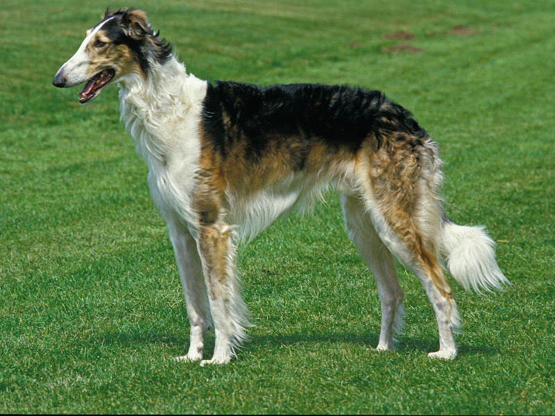 Side View of a Borzoi standing on a lawn. Note the Slender Body, Narrow Head, and Long Legs.