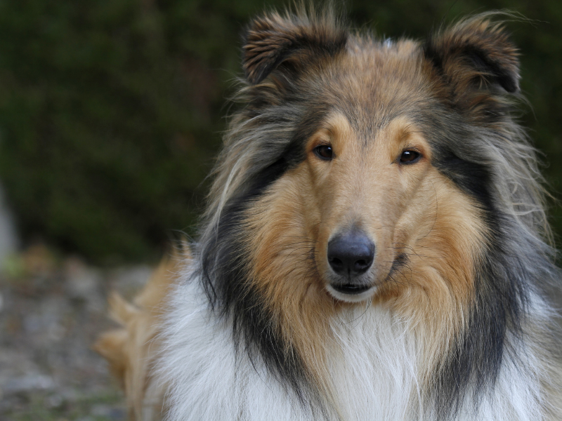 Front View of Collie Face.