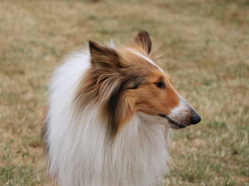 Side View of a Collie Head