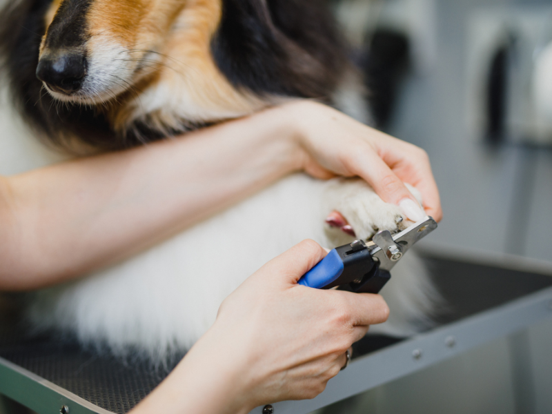 Trimming the Nails of a Collie