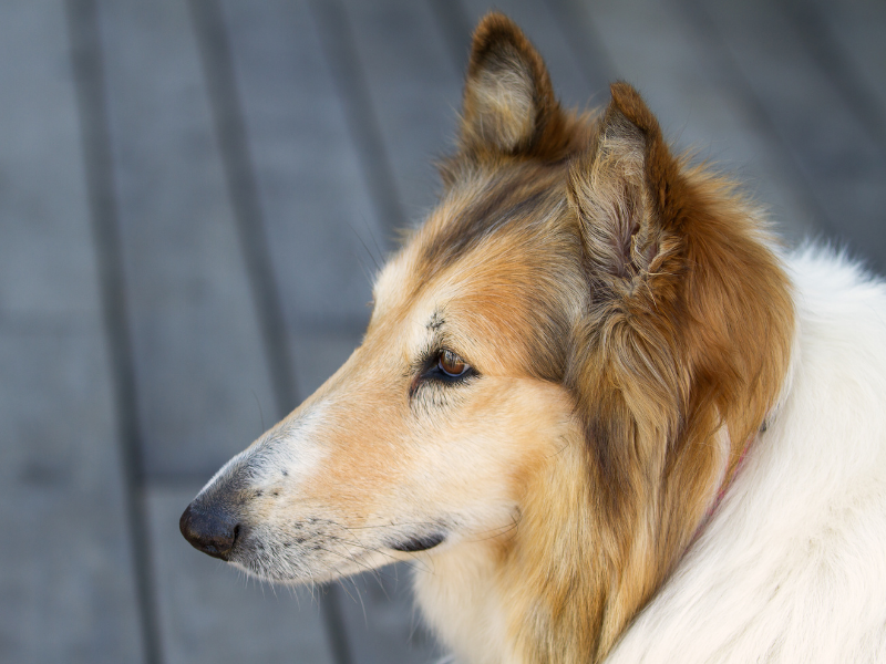 Collie Nose Sideview