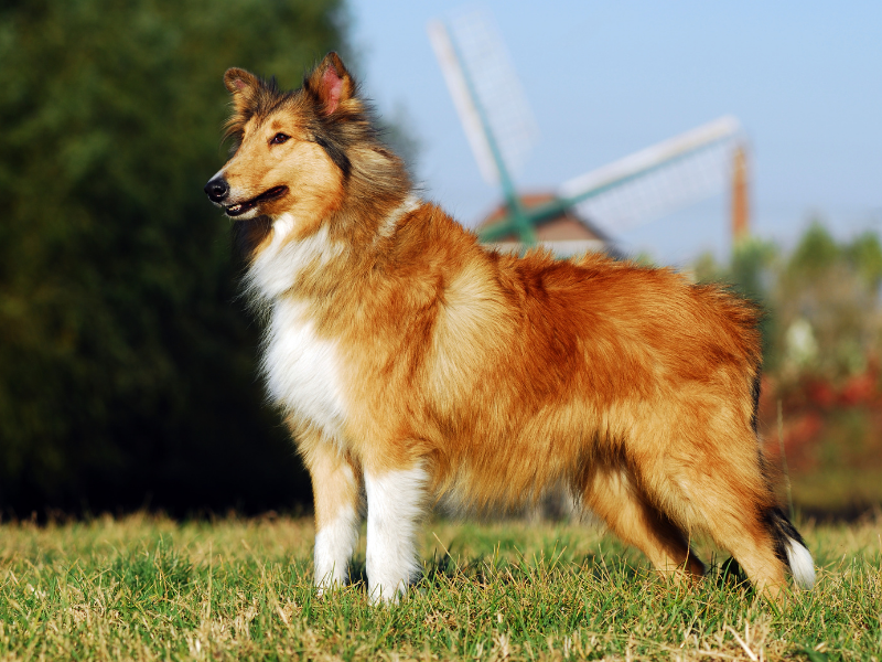 Side View of a Collie Stading on a Lawn