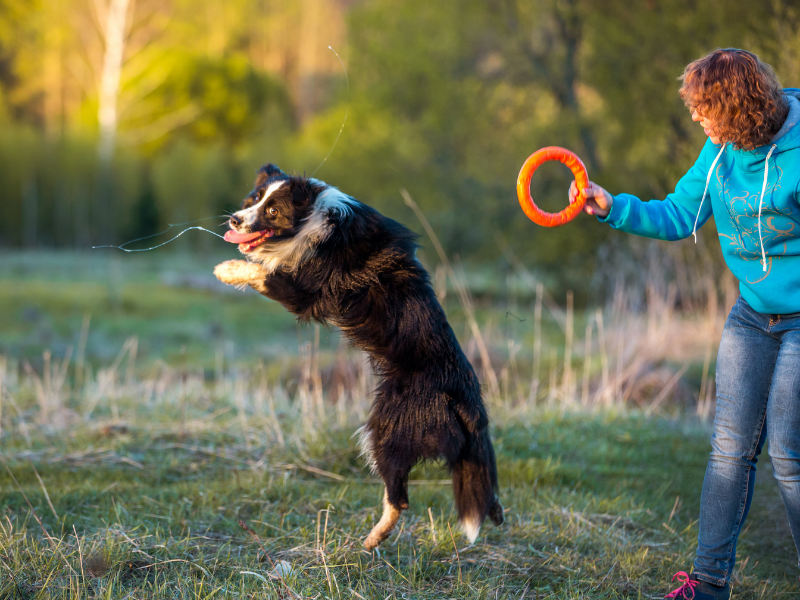 Your dog need exercise, whether it is a Borzoi or a Collie, or a mix. Black collie in mid air, chasing a frisbee held by a woman wearing blue.