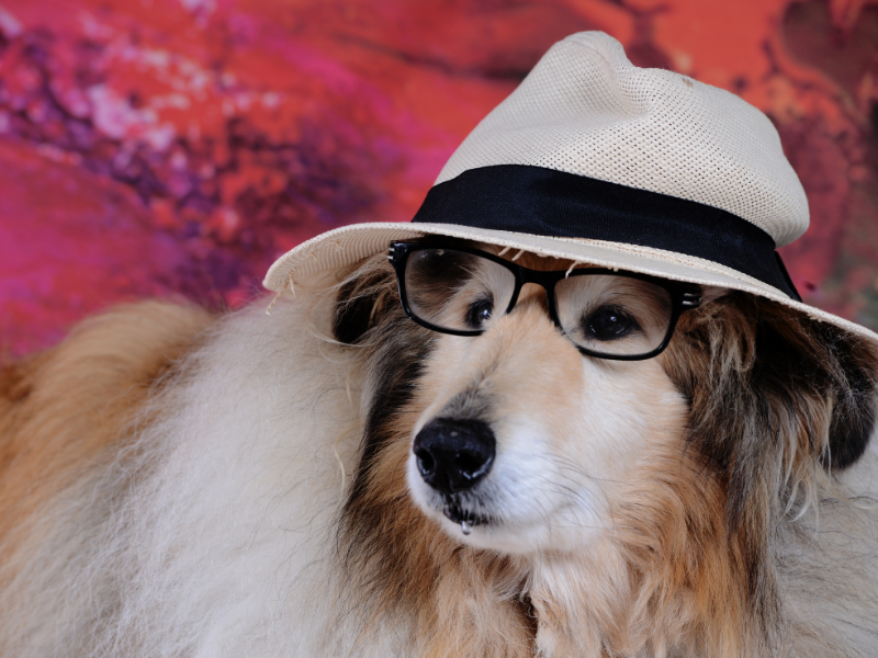 Collie Wearing Glasses and a Floppy White Mesh Hat with a Black band. Colorful Painted Background