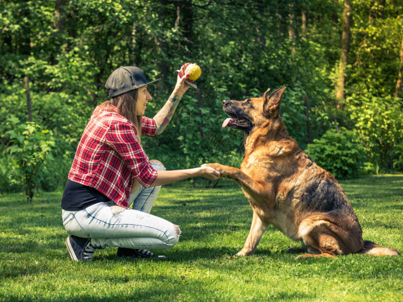German Shepherd Training with Woman in Red shirt and hat holding yellow ball