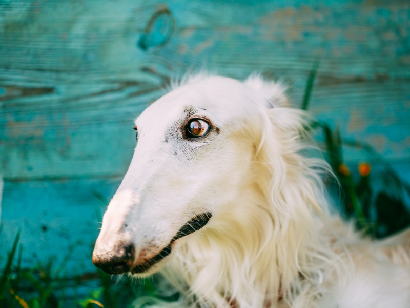 Long Borzoi Snoot on Head of White Borzoi with Green Background