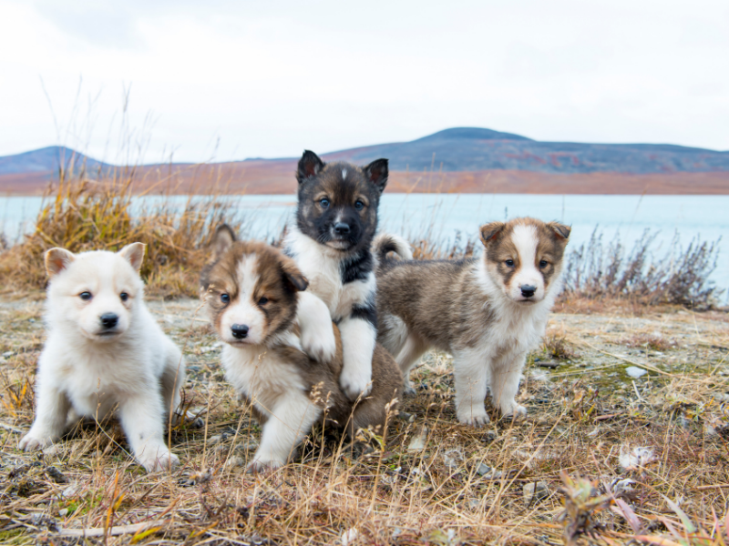 Four Husky Puppies posed on a scrub grass lakeshore in autumn. Moutains on far shore.
