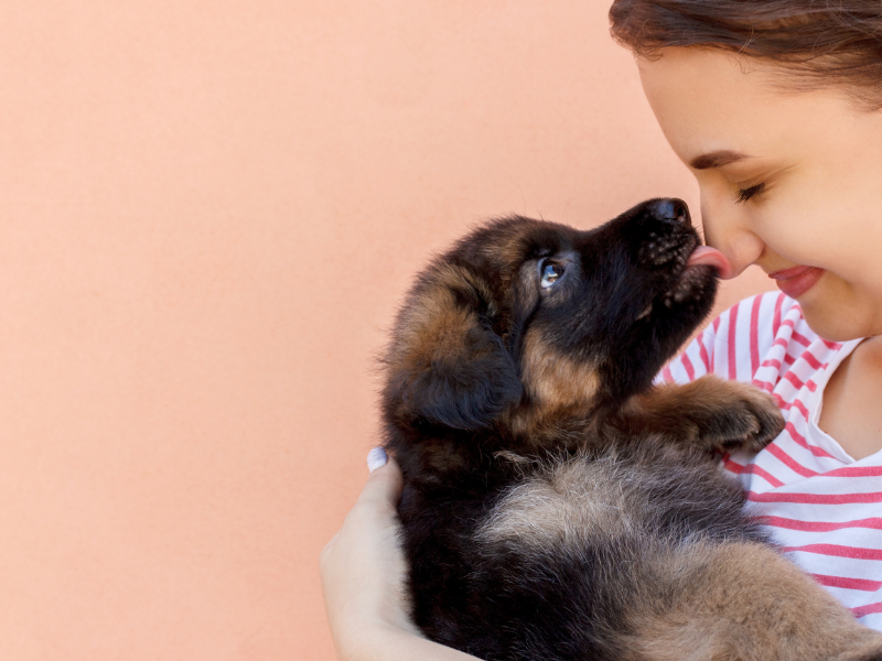 German Shepherd Puppy Licking Face of young girl